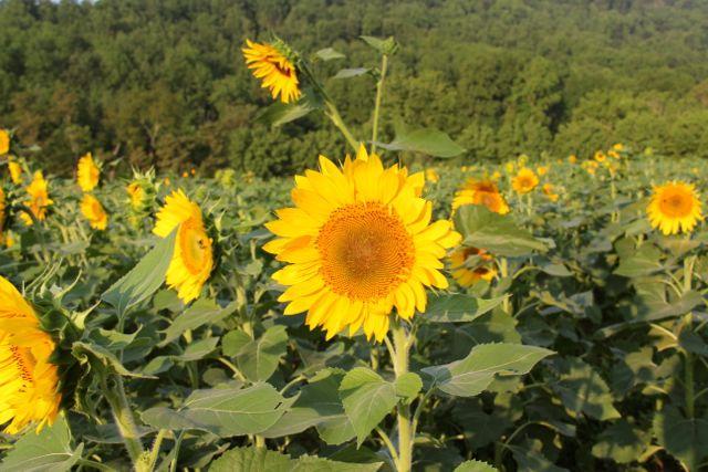 sunflower field, dove hunting, wildlife habitat, dove hunting, Virginia summer.